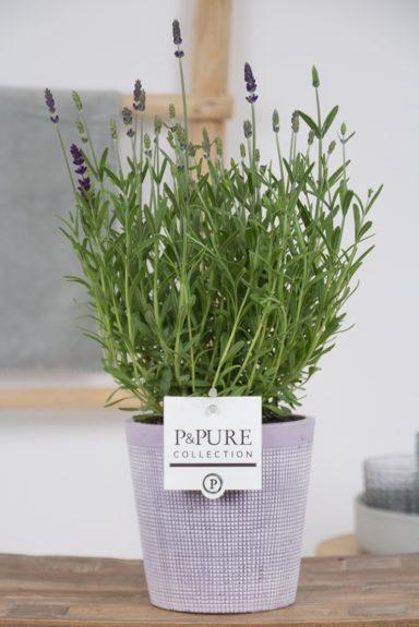 PC12-169-Lavandula-p12-Angustifolia-Hidcote-in-Pure-Clay-lavender