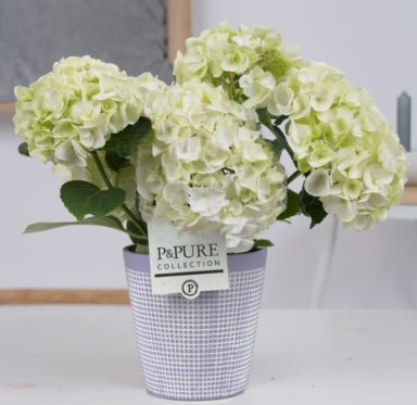 PC12-174-Hydrangea-white-p12-in-Pure-Clay-3