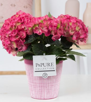 PC12-175-Hydrangea-pink-p12-in-Pure-Clay-3