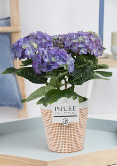 PC12-178-Hydrangea-p12-blue-in-Pure-Terra-Cotta