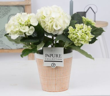 PC1279-Hydrangea-p12-white-in-Pure-Terra-Cotta3