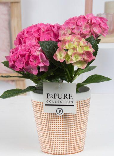 PC12-180-Hydrangea-p12-pink-in-Pure-Terra-Cotta3