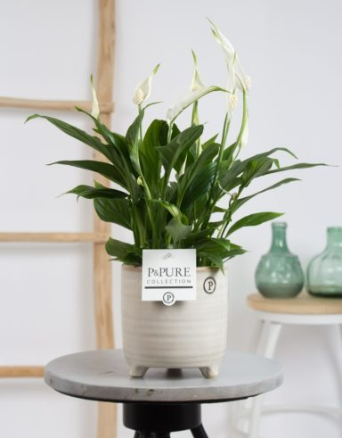 PC15-015-Spathiphyllum-p12-in-Pure