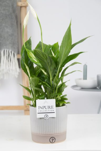 PC15-145-Spathiphyllum-p12-in-Lucille-cer.