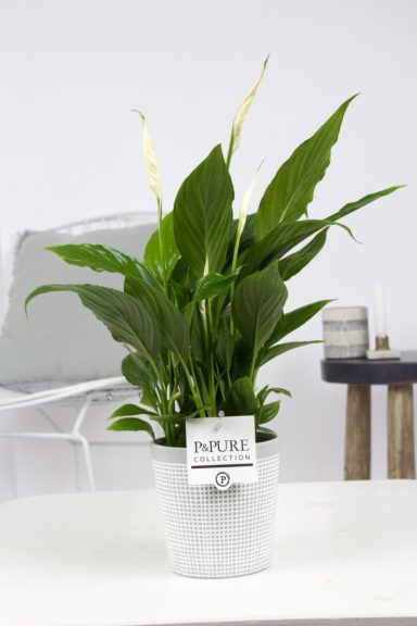 PC15-147-Spathiphyllum-in-Pure-Clay-3