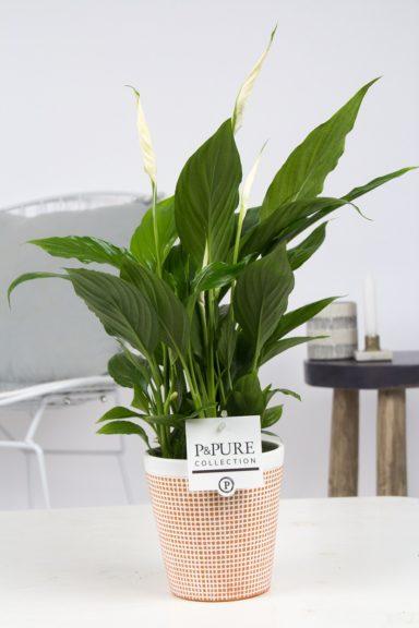PC15-148-Spathiphyllum-p12-in-Pure-Terra-Cotta