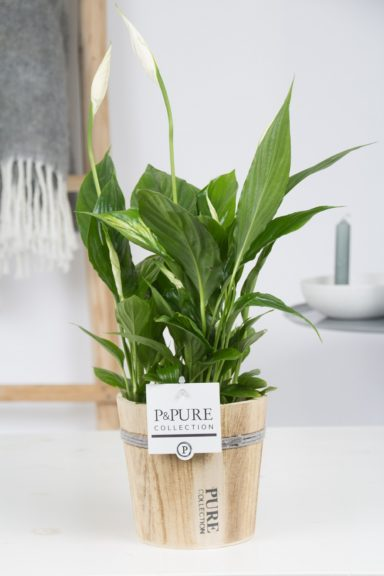 PC15-149-Spathiphyllum-p12-in-Pure-Wood