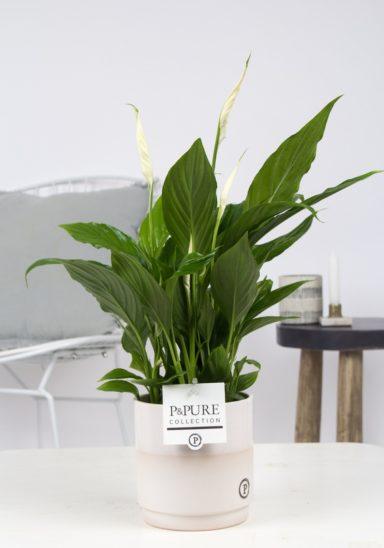 PC15-185-Spathiphyllum-p12-in-Juliette-ceramics