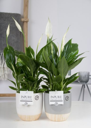 PC15-9-Spathiphyllum-p12-in-Emily-cer.