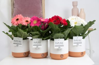 T12-PC05-008-Gerbera-p12-mix-in-Pure