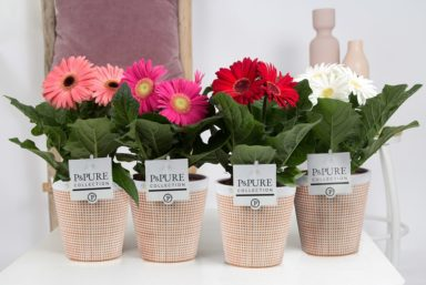 T12-PC05-040-Gerbera-p12-mix-in-Pure-Terra-Cotta