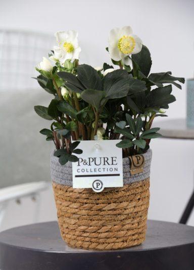 THEL-PC05-031-Helleborus-n.-Xmas-Carol-p12-5-bloem-in-Pure-Basket