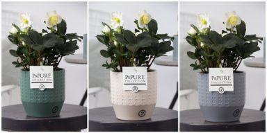 THEL-PC05-033-Helleborus-n.-Xmas-Carol-p12-5-bloem-in-Eline-ceramics-ass.