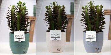 TR-IN-17-91-Euphorbia-Trigona-Rubra-p12-in-Eline