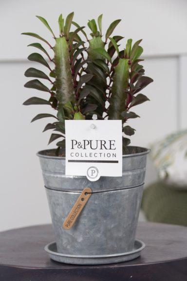 TRIGONAZINK-Euphorbia-Trigona-Rubra-p12-in-Zinc-pot-Louise-2