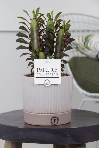 TRIGONLUCILLE-Euphorbia-Trigona-Rubra-in-Lucille-ceramics-grey