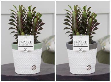 TRIGONVALERIE-Euphorbia-Trigona-Rubra-in-Valerie-ceramics