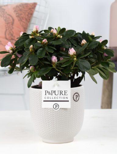 Azalea-p12-pink-in-Pure
