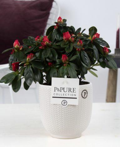Azalea-p12-red-in-Pure