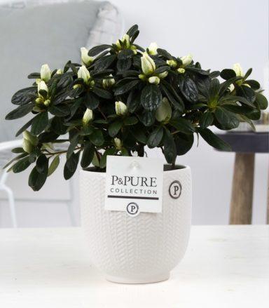 Azalea-p12-white-in-Pure