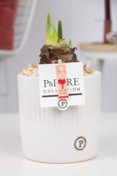 PC0200-Amaryllis-p12-red-in-Sophie-ceramics-white