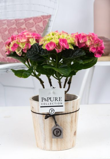 PC12-145-Hydrangea-p12-pink-in-Pure-Wood-5
