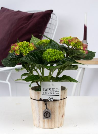 PC12-146-Hydrangea-p12-red-in-Pure-Wood