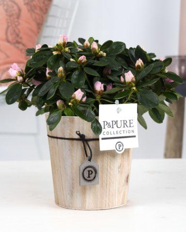 PC15-3-Azalea-p12-pink-in-Pure-Wood-6