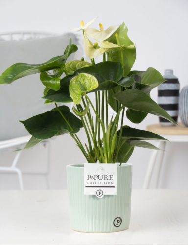 12.169.417-DM-Anthurium-p12-white-in-Sophie-ceramics