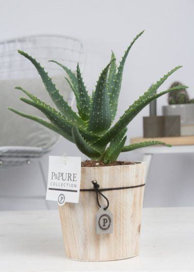 AA-IN-PC17-64-Aloe-Aborescens-p12-in-Pure-Wood-pot