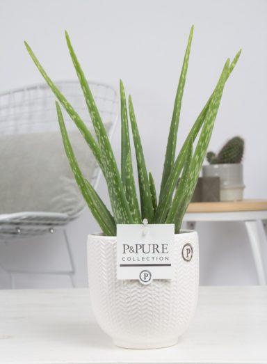 ALOELIV-Aloe-Vera-in-Liv-ceramics