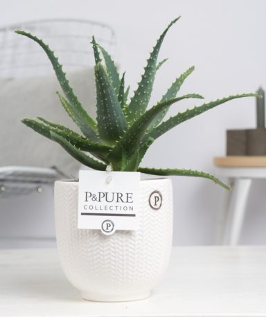 ARBORLIV-Aloe-Aborescens-p12-in-Liv-ceramics