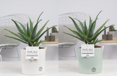 ARBORLUCILLE-Aloe-Aborescens-p12-in-sophie-ceramics