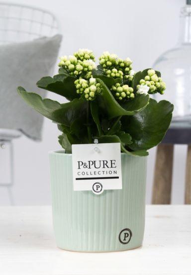 PC02-210-Kalanchoe-white-in-Sophie-ceramics