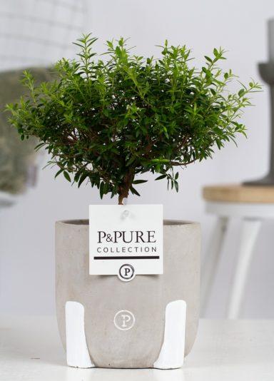 PC02-653-Myrtus-Communis-op-stam-p12-in-Jade-3-ceramics