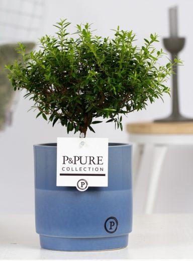 PC02-659-Myrtus-Communis-op-stam-p12-in-Juliette-ceramics-blue