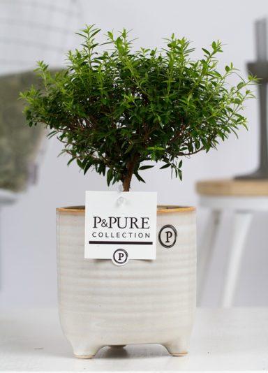 PC02-660-Myrtus-Communis-op-stam-p12-in-Lauren-ceramics