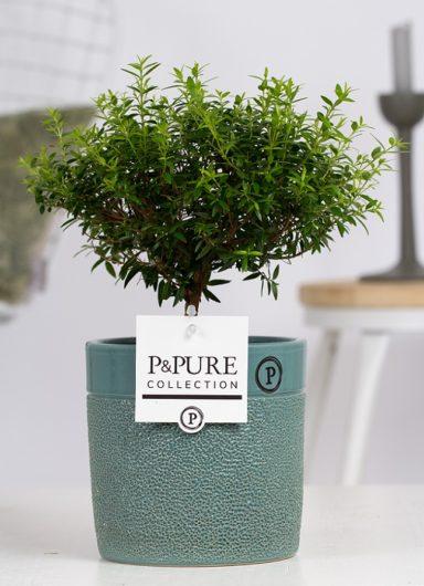 PC02-664-Myrtus-Communis-op-stam-p12-in-xxx-ceramics-green