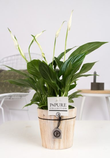 PC15-149-Spayhiphyllum-in-Pure-Wood