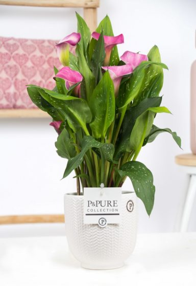 Zantedeschia-p12-pink-Pure