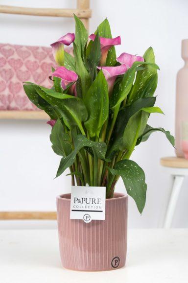 Zantedeschia-p12-pink-in-Pure