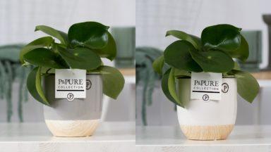 PC02-1005-Peperonia-Raindrop-p12-in-Emily