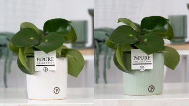 PC02-1012-Peperonia-Raindrop-p12-in-Sophie